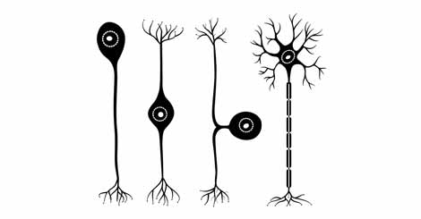 Kinds of Neurons