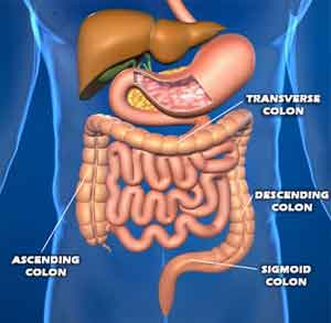 Organs Found in the Digestive System